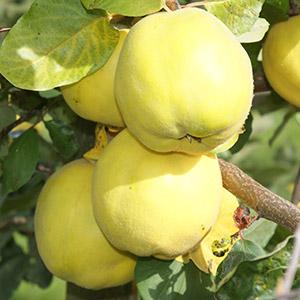 Quitte / Apfel- / Birnenquitte